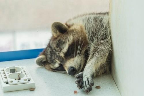 寝ているアライグマ