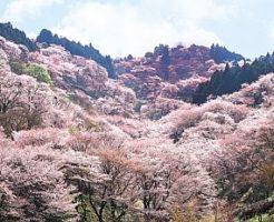 2020, 吉野山, 中千本, お花見, 桜, 開花予想, 穴場, 混雑, アクセス