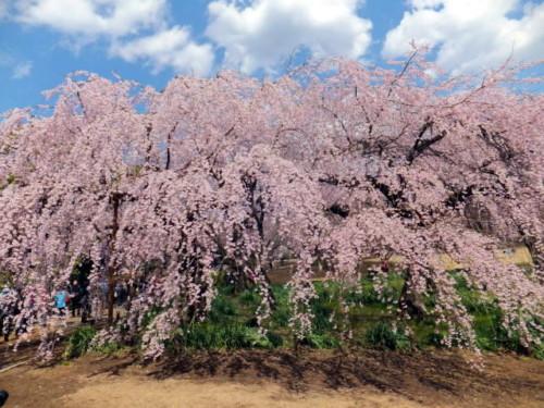 新宿御苑のお花見|桜開花予想・満開はいつ頃?