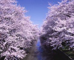 【2020年】五条川の桜並木のお花見|桜開花予想・穴場・混雑・アクセス