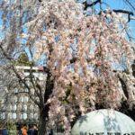 2020上野恩賜公園の桜開花予想・穴場・混雑・アクセス