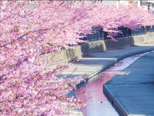 【2020年】淀水路の河津桜のお花見|開花予想・穴場・混雑・アクセス