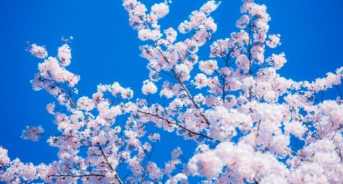 【2020】名古屋・鶴舞公園のお花見|桜開花予想・穴場・混雑・アクセス