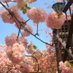 【2020】大阪造幣局桜の通り抜け桜開花予想・穴場・混雑・アクセス