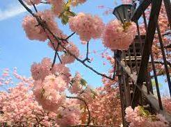 2020, 大阪造幣局, 桜の通り抜け, 桜, 開花予想, 穴場, 混雑, アクセス