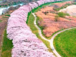 【2020年】淀川河川公園のお花見|桜開花予想
