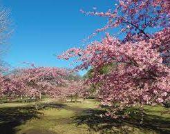 2020,代々木公園, お花見, 桜, 開花予想, 穴場, 混雑, アクセス