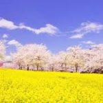 【2020年】赤城南面千本桜の桜開花予想・穴場・混雑・アクセス