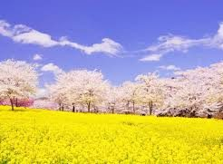 2020, 赤城南面千本桜, 桜, 開花予想, 穴場, 混雑, アクセス