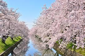 2020, 岡崎公園, お花見, 桜, 桜まつり, 開花予想, 穴場, 混雑, アクセス