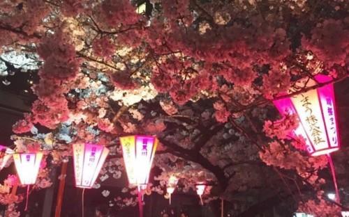 【2020】目黒川桜祭りの開花予想