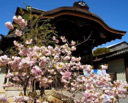 【2020年】仁和寺のお花見|桜開花予想・穴場・混雑・アクセス