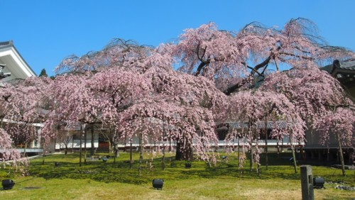 【2020年】京都・醍醐寺のお花見|桜開花予想・穴場・混雑・アクセス