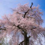 【2020年】京都・円山公園のお花見|桜開花予想・穴場・混雑・アクセス